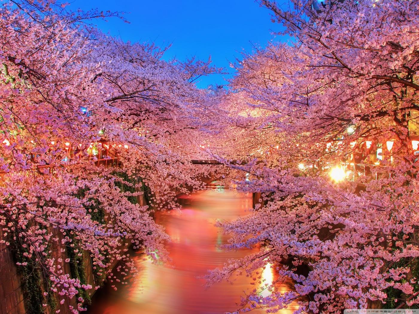 Hàn Quốc: Mùa hoa anh đào